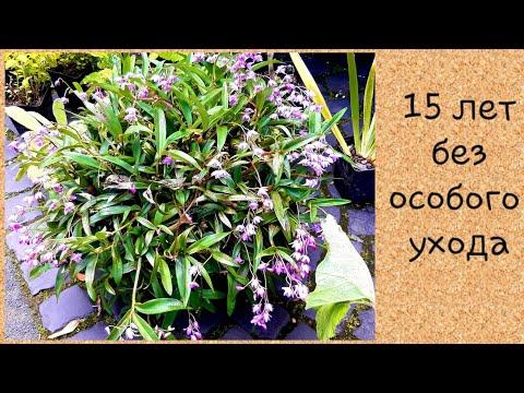 Dendrobium kingianum/дендробиум кингианум уход😀