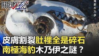 皮膚割裂、肚子裡全是碎石 南極乾谷「海豹木乃伊」之謎!? 關鍵時刻 20180302-5黃創夏 王瑞德 傅鶴齡