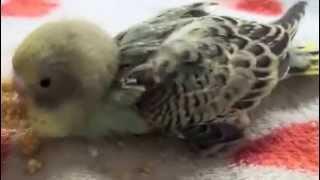 プライベート編です。 先月孵化した我が家の3羽のセキセイインコのヒナ...
