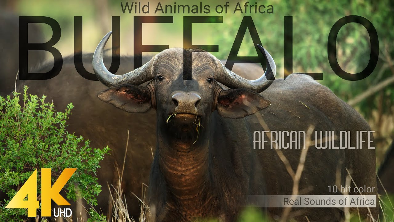 4K African Wildlife: Buffalo - Wild Animals of Africa - Real Sounds of Africa - 10 bit color