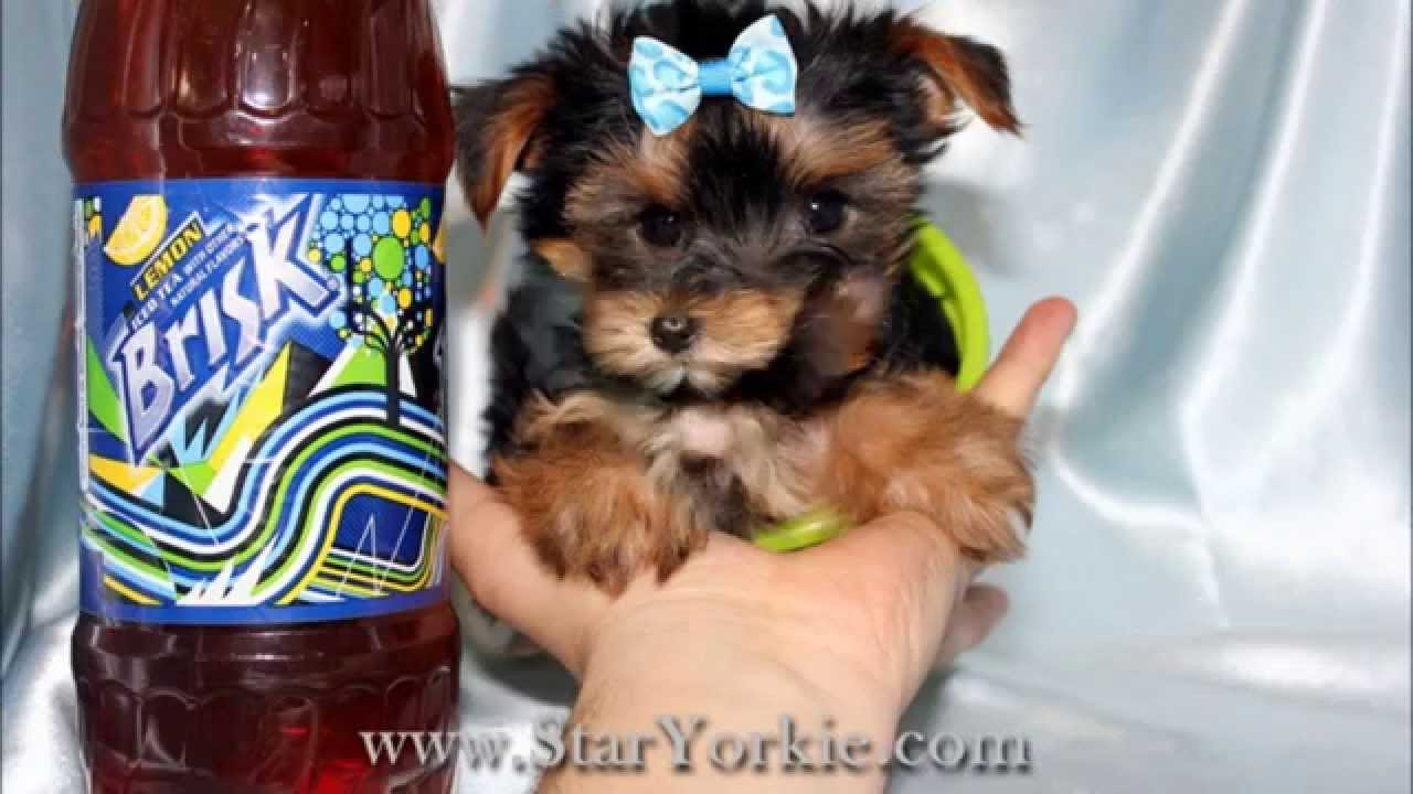 Tiny Teacup Yorkie Puppies For Sale In Los Angeles Ca Youtube