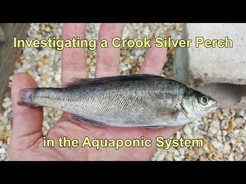Investigating a Crook Silver Perch in the Aquaponics. Possible Paintbrush Tail Deformity.