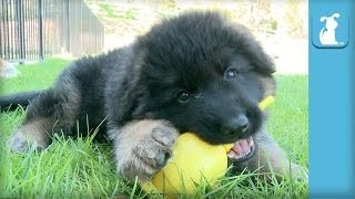 Fluffy German Shepherd Puppy Plays With Sippy Cup - Puppy Love