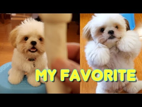 Shih Tzu Puppy Showing His Tricks for His Favourite Treat (Got Scammed)