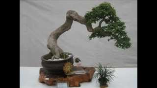 2nd Mayor's Cup Bonsai Competition Mar 1...
