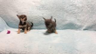 Чихуахуа девочки и мальчики продажа Элитные собачки самые маленькие в мире