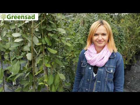 """Ива козья """"Pedula"""" - видео-обзор от Greensad"""