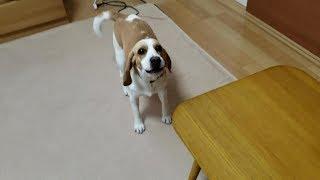 Beagle #ビーグル #うぃるさん いや、うぃいちゃん早いよw Twitter・...