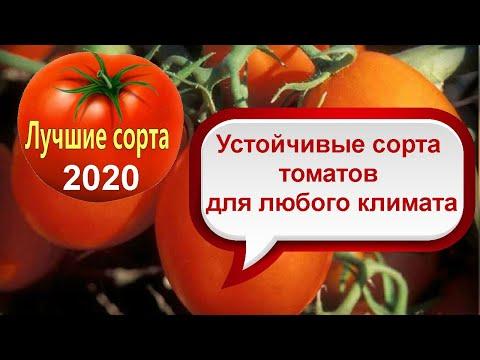 Самые урожайные сорта помидор �� Лучшие сорта томатов �� Проверено