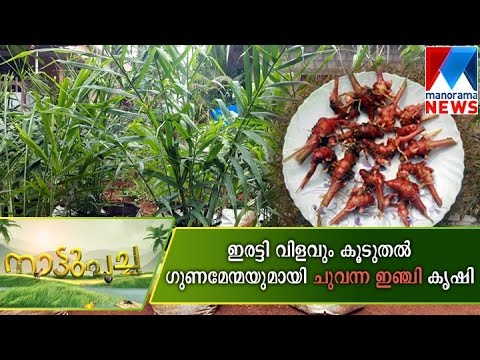 Profitable Red Ginger farming | Manorama News
