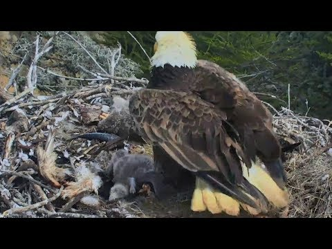 Sauces Channel Island Eagle Cam ~ 5.3...