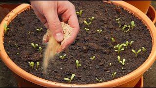 Насыпьте это в горшок с рассадой! Рассада будет мощная и без подкормки! Урожай удивит!