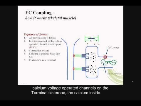 Skeletal muscle contraction, reflex arcs, part B