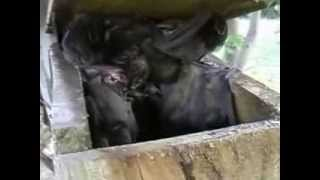 Bats For Education - Terry Reardon And Gould's Wattled Bats In Roost Box