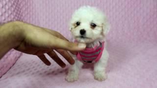 Selena Gomez - Maltipoo (Maltese & Poodle) Puppy in PuppyHeaven LA