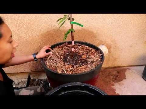 How to Repot a Stella Cherry Tree / Container gardening #stellacherrytree #fruittreeincontainer