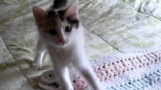 Aytasi Cattery  Turkish Van Kittens   8 Weeks Old