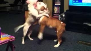 Pitbull Vs English Bulldog