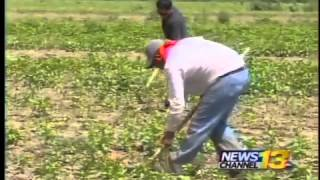 Rain delays harvesting Pueblo chiles