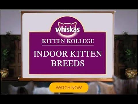 Indoor Kitten Breeds  Kitten Kollege