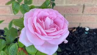 Trồng cây lựu trắng , cây bông hồng tươi tốt trước sân nhà đón tài Lộc    Cuộc Sống Úc