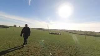 Sheepdog separates sheep