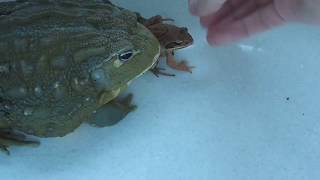 Лягушка водонос ест лягушку (African Bullfrogs eating)