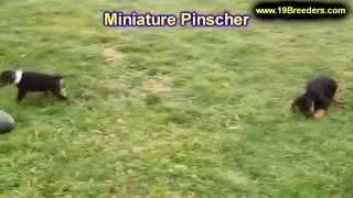 Miniature Pinscher, Puppies, For, Sale, In, Olathe, Kansas, County, Ks, Fairfield, Litchfield, Middl