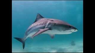os 7 tubarões mais perigosos do mundo