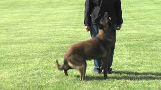 The Foundations Of Competitive Working Dogs Obedience 3v2- Heeling, The Recall And Motion Exercises