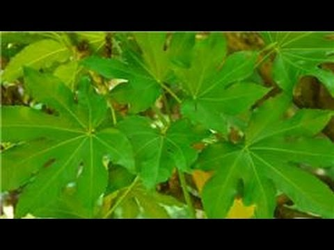 Maintaining & Pruning Shrubs : How to Care for Fatsia Japonica