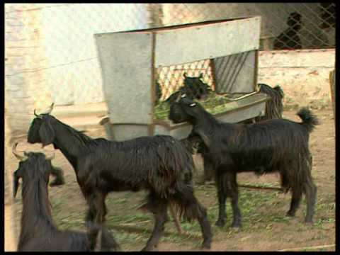 Goat Diseases their Symptoms, Prevention and Treatments