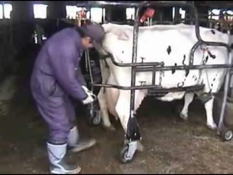 牛蹄管理用枠場ころさくフリーストール編 Cattle Foot Care Chute KOROSAKU