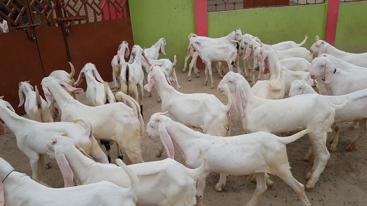 Repeat Lahore Rajan Puri Bakre sale ho gaye hain 03410341995