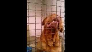 Aggressive Dogue De Bordeaux