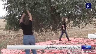 أجانب يشاركون في قطف الزيتون بإربد (3/11/2019)