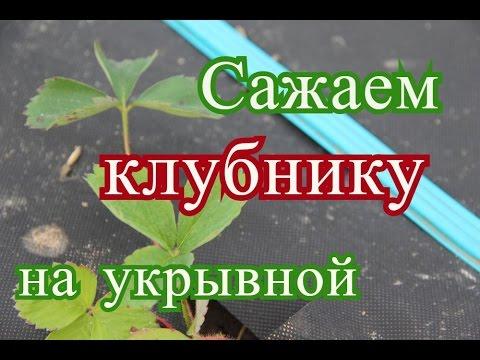 Как правильно посадить клубнику осенью на грядках под укрывной материал