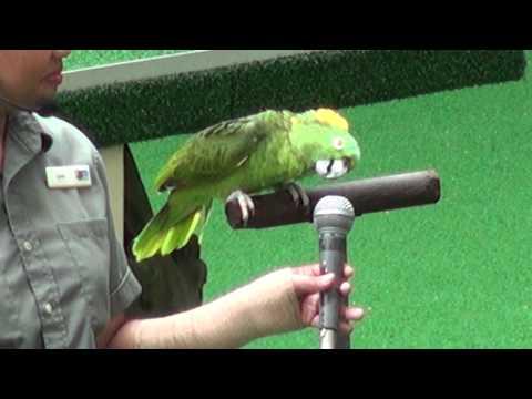 新加坡鳥園 裕廊飛禽公園 鸚鵡唱歌