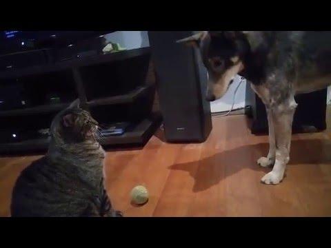 Optimus & Arya – Cat Bullies Dog