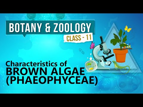 Characteristics of Brown Algae ( Phaeophyceae ) - Kingdom Plantae - Biology Class 11