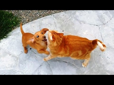 'Puppies Annoying Cats Compilation' || CFS