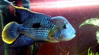 South American Fish Peru Cichlid Green Terror 6-7 inch in 55 Gallons Tank Aquarium