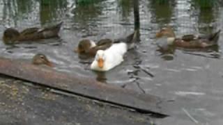 散歩道にある田んぼ。 そこには10羽の合鴨の子達。 白い子もあいがもち...