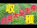 白菜収穫出荷と圃場の状態#216 の動画、YouTube動画。