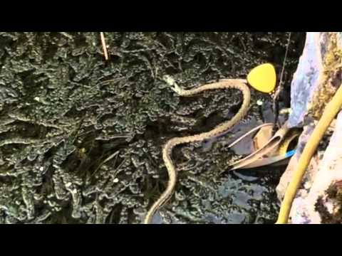 Large grass snake lives in my koi pond youtube for Giant koi pond