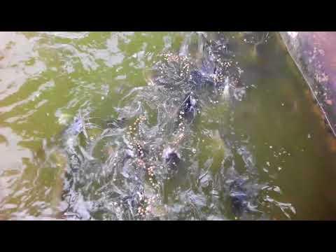 Catfish Frenzy Feeding  Till Project Life Is Success