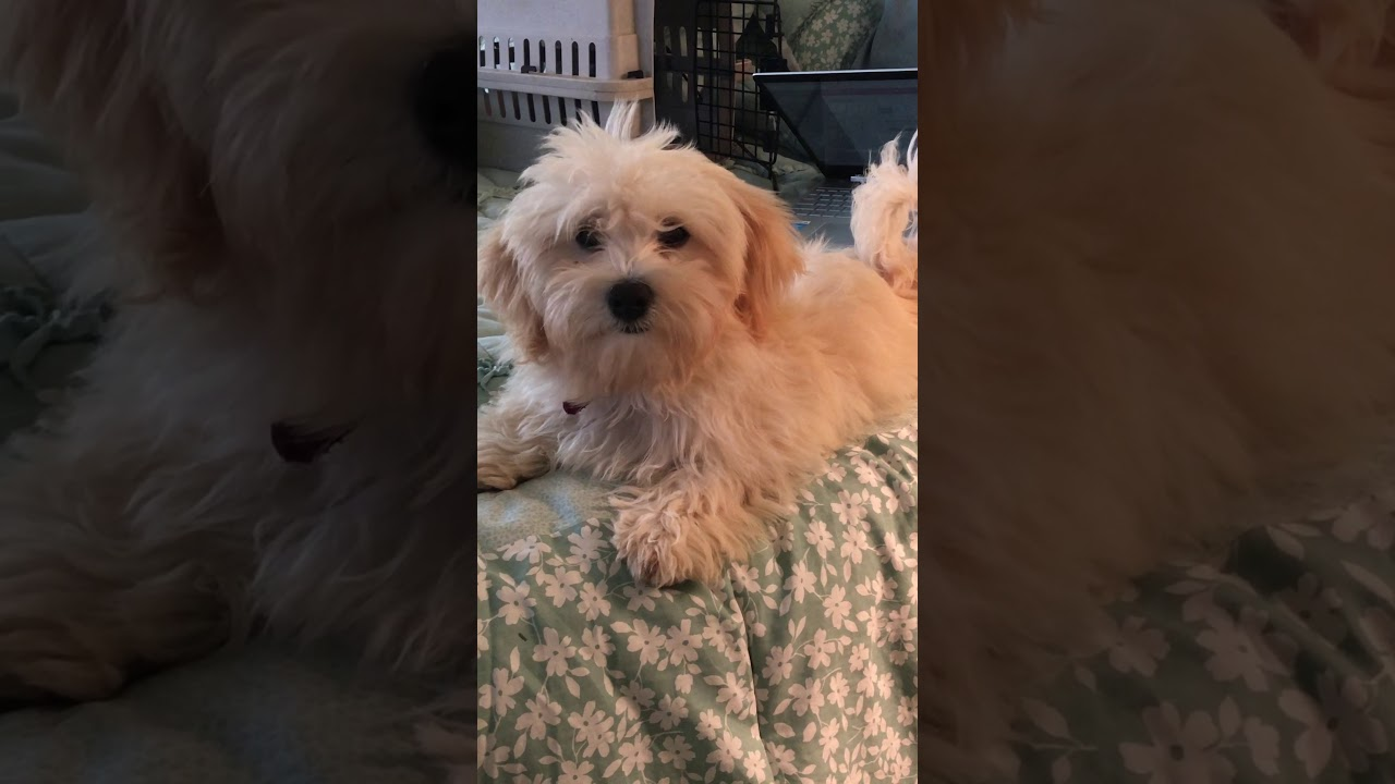 :Lovely Little Lady Lilly - Havanese Puppy