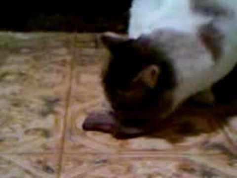 Cat eating steak