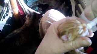 Прикармливаем ежечасно новорожденного Мейн куна заменителем кошачьего молока  Beaphar