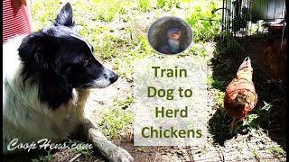 Train Dog to Herd Chickens